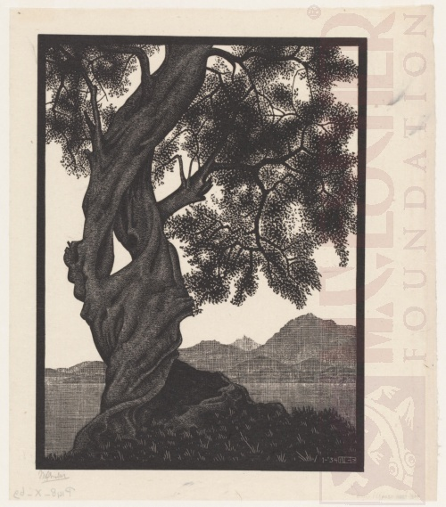 Old Olive Tree, Corsica. January 1934, Wood Engraving.